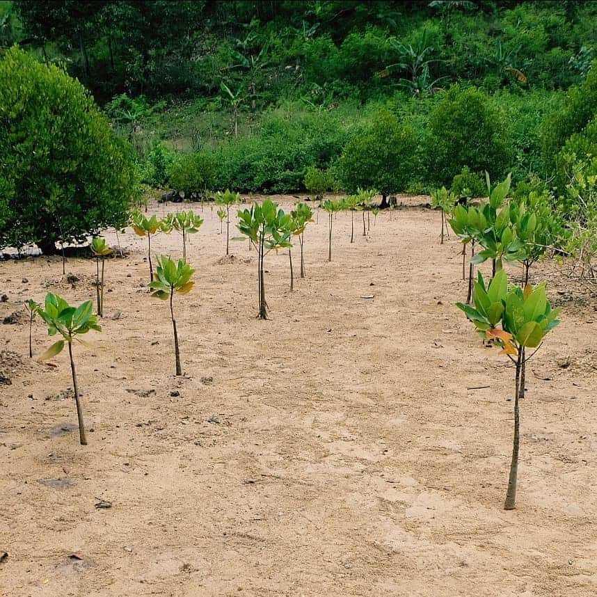 Tanaman Mangrove di Pantai Clungup